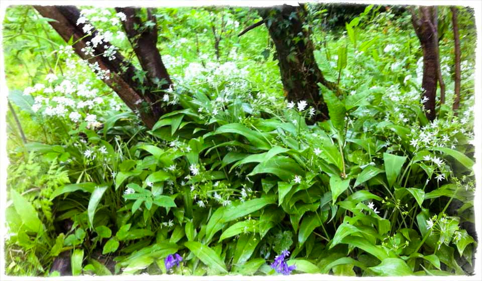 A wildgarlic woodland