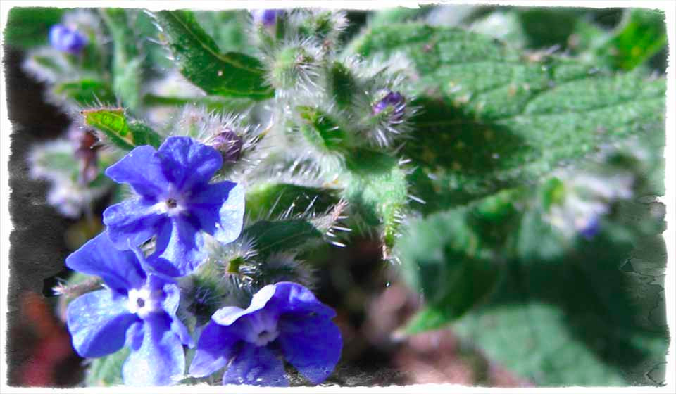 Borage, beloved of bees