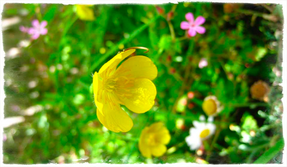 Buttercups and campions, a glimpse into the fairy world