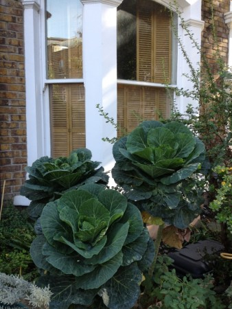 Cabbage front garden