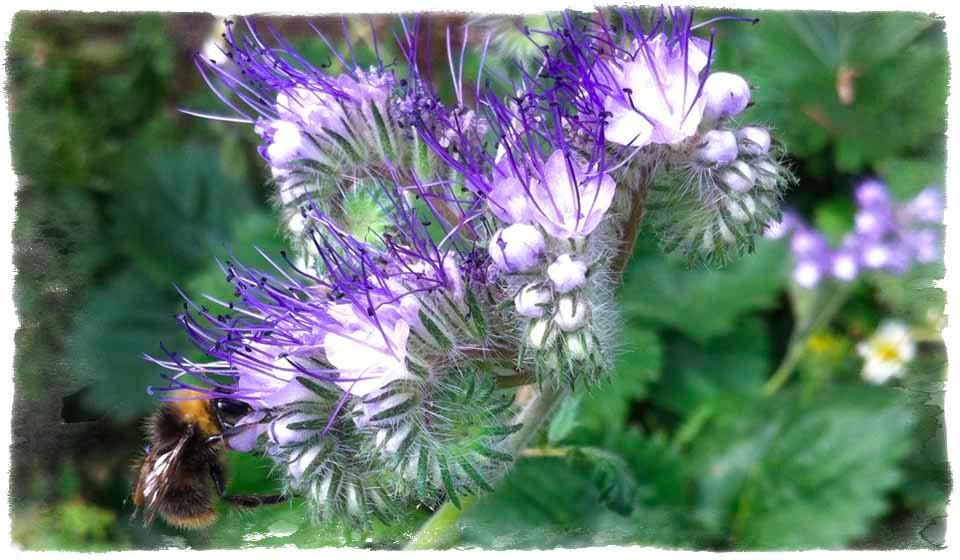 Pretty phacelia – a pollinator's joy