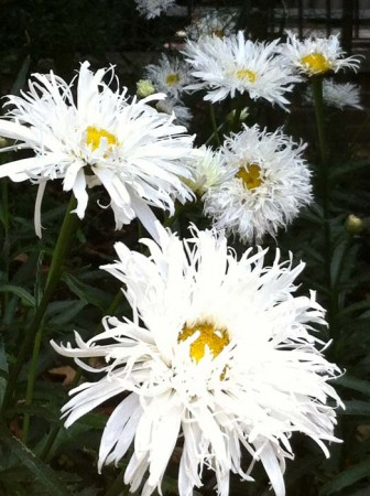 The laciest daisies ever!
